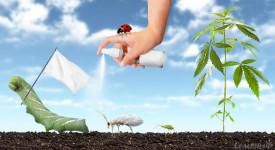 Марихуана и ее вредители как правильно посадить семена марихуаны